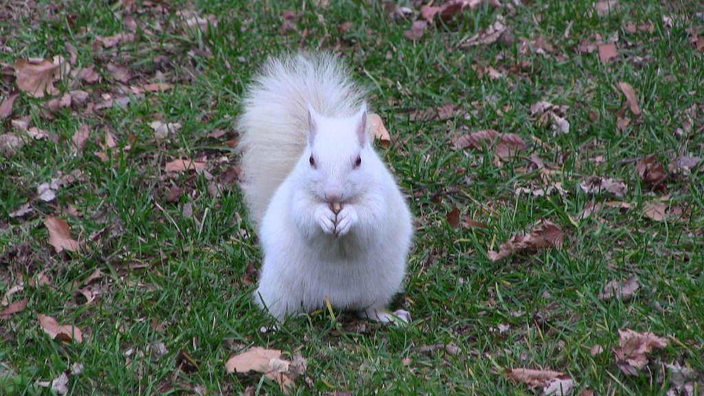 brevard-nc-white-squirrels.jpg